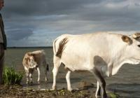 La Vache Nantaise